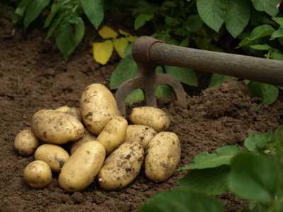 Permaculture tous savoir sur les plantations les moutons enrag s - Recolte des pommes de terre ...